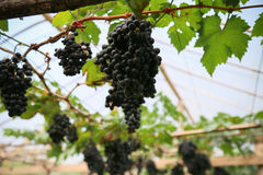 Frutta fresca dell'uva o della bacca in frutteto, frutta pulita o fondo popolare della frutta, frutta del mercato dal frutteto di Immagine Stock Libera da Diritti