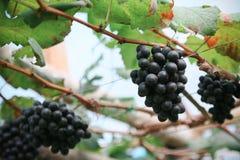 Frutta fresca dell'uva o della bacca in frutteto, frutta pulita o fondo popolare della frutta, frutta del mercato dal frutteto di Fotografia Stock