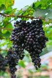 Frutta fresca dell'uva o della bacca in frutteto, frutta pulita o fondo popolare della frutta, frutta del mercato dal frutteto di Immagini Stock