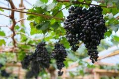 Frutta fresca dell'uva o della bacca in frutteto, frutta pulita o fondo popolare della frutta, frutta del mercato dal frutteto di Immagini Stock Libere da Diritti
