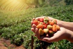 Frutta fresca della fragola in mani del ` una s della donna con il giacimento della fragola Immagini Stock Libere da Diritti