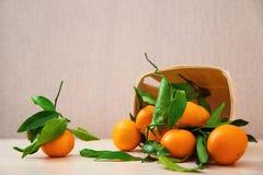 Frutta fresca delle arance del mandarino con le foglie Fotografia Stock