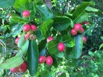 Frutta fresca di carunda Fotografia Stock