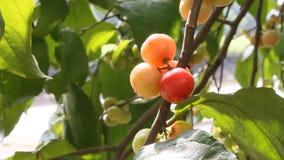 Frutta fresca di lubika (jangomas di Flacourtia) video d archivio
