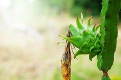 Frutta fresca verde del drago di agricoltura, Pitaya Immagine Stock Libera da Diritti