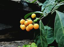Frutta gialla Fotografie Stock