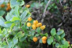 Frutta gialla di colore Immagini Stock