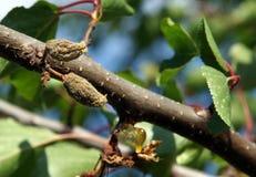 Frutta guastata su un ramo dell'albero di albicocca Immagini Stock