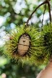 Frutta incrinata del rambutan Fotografia Stock Libera da Diritti