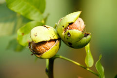 Frutta italiana Fotografie Stock Libere da Diritti