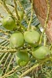 Frutta leggera della noce di cocco Immagine Stock Libera da Diritti