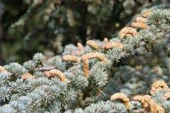 Frutta maschio del cedro di atlante Immagini Stock
