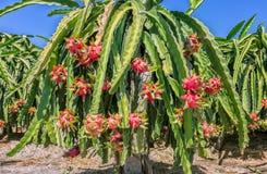 Frutta matura carica del drago su un palo Fotografia Stock