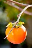 Frutta matura del cachi sull'albero Immagini Stock Libere da Diritti