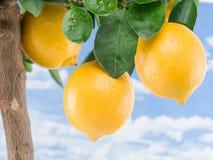 Frutta matura del limone su un albero Priorità bassa del cielo blu fotografia stock