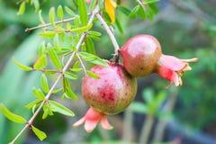 Frutta matura del melograno Fotografie Stock Libere da Diritti