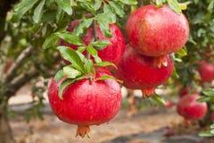 Frutta matura del melograno sul ramo di albero fotografia stock libera da diritti