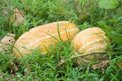 Frutta matura del melone (cucumis melo) nel giardino di abbandono Fotografia Stock Libera da Diritti