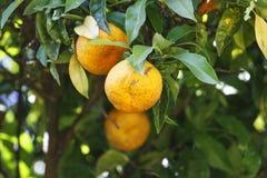 Frutta matura dell'arancio Fotografie Stock Libere da Diritti