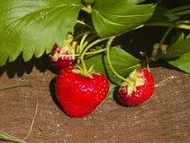 Frutta matura della fragola in giardino sul substrato di plastica, macro, fuoco selettivo, DOF basso Immagini Stock
