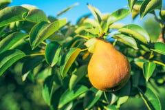 Frutta matura della pera sul ramo in frutteto Immagine Stock Libera da Diritti