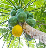 Frutta matura e cruda della papaia. Fotografie Stock