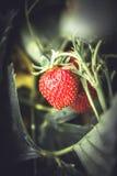 Frutta matura fresca crescente della fragola che si nasconde fra le foglie Immagine Stock
