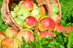 Frutta matura, merce nel carrello rossa e succosa delle mele su un'erba verde Fotografia Stock