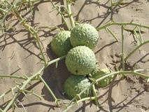 Frutta Nara. Famiglia Cucrbitaceae Fotografia Stock