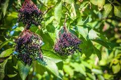 Frutta nera dell'anziano Fotografia Stock