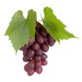 Frutta nera dell'uva con i fogli Immagini Stock