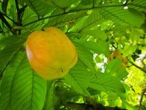 Frutta non maturata del Ackee sull'albero in Giamaica Immagini Stock Libere da Diritti