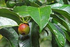Frutta porpora del mangostano in albero Fotografia Stock Libera da Diritti