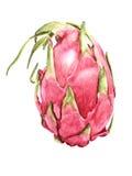 Frutta realistica Pitaya dell'acquerello Fotografia Stock