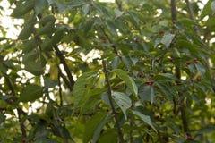 Frutta rossa Immagine Stock