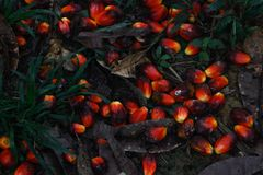 Frutta rossa da cui olio di palma fotografia stock libera da diritti