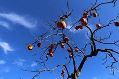 Frutta rossa del cachi, autunno Immagini Stock Libere da Diritti