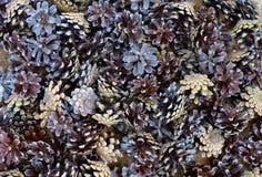 Frutta rossa del nero dell'alimento del seme del primo piano della foresta di conifere del pino di pietre della natura di Pinecon Immagini Stock