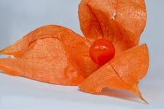 Frutta rossa del physalis Immagine Stock