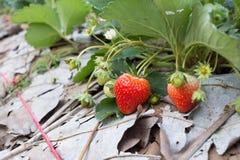 Frutta rossa della fragola nella piantagione del campo Immagini Stock Libere da Diritti
