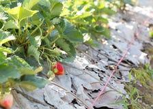 Frutta rossa della fragola nella piantagione del campo Immagine Stock Libera da Diritti