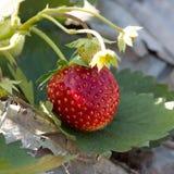 Frutta rossa della fragola nella piantagione del campo Fotografie Stock Libere da Diritti