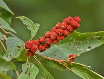 Frutta rossa della tintura Fotografie Stock Libere da Diritti