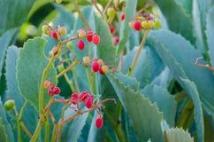 Frutta rossa di Cyphostemma Juttae ad un giardino botanico fotografia stock