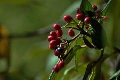 Frutta rossa - fuoco su priorità alta Immagini Stock Libere da Diritti