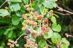 Frutta selvaggia Fotografie Stock