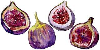 Frutta selvaggia dei fichi viola esotici in uno stile dell'acquerello isolata Immagine Stock
