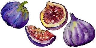Frutta selvaggia dei fichi viola esotici in uno stile dell'acquerello isolata Fotografia Stock