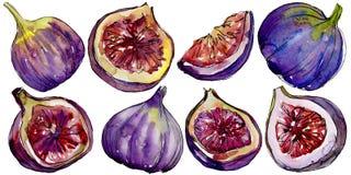 Frutta selvaggia dei fichi viola esotici in uno stile dell'acquerello isolata Immagini Stock