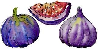 Frutta selvaggia dei fichi viola esotici in uno stile dell'acquerello isolata Fotografie Stock